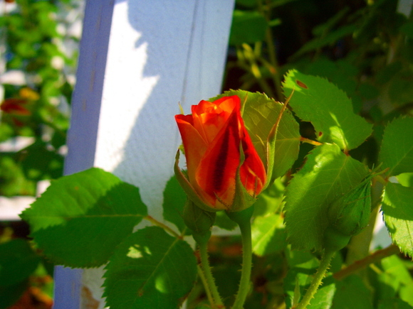 B- Rose bud 2